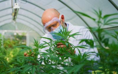 Cannabisoljen er kommet for å bli